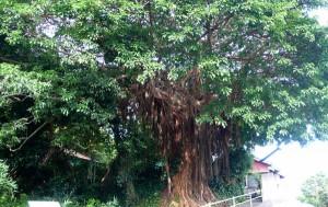 アコウの木